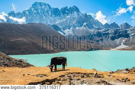 Himalayan Yak Eating Grass At The Shore Of Gokyo Lakes In Gokyo Village One Of The Most Tourist Attr