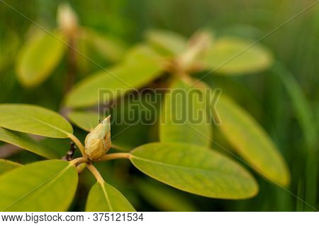 Fresh Rhododendron Bud On A Green Floral Background. Rhododendron Catawbiense Grandiflorum.
