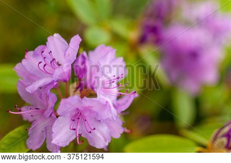 Blooming Pink Rhododendron Flower On A Green Floral Background With Copy Space. Rhododendron Catawbi