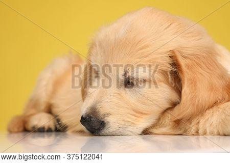 cute labrador retriever pup laying down and sleeping on yellow background