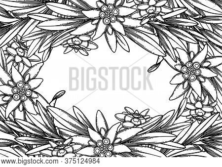 Graphic Edelweiss Flowers And Leaves. Vector Floral Design