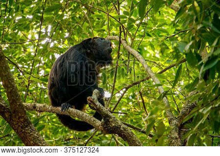 Young Male Of Howler Monkey In Mexico