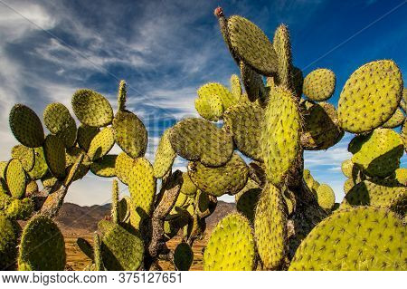 Edible Opuntia Cactus Growing In Warm Parts Of Our Planet