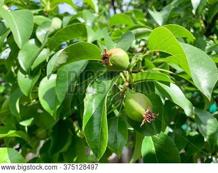 Small Pears On A Tree Branch. The Concept Of Pear Growth On A Branch. Pear Tree With Fruit In The Ga