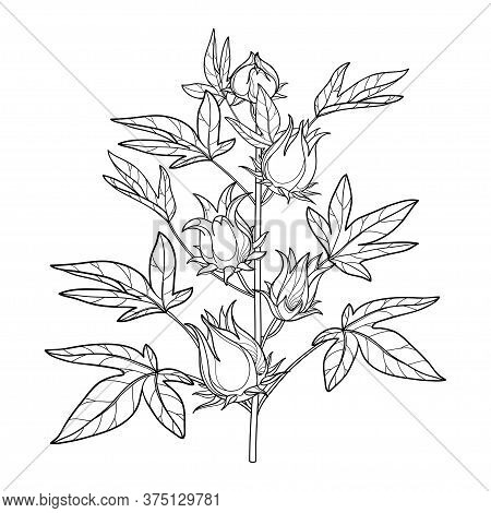 Vector Stem Of Outline Tropical Roselle Or Hibiscus Sabdariffa Or Carcade Plant With Fruits And Leaf