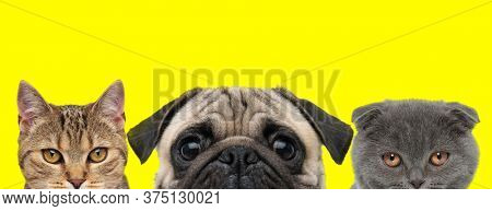 cute metis cat, Pug dog and Scottish Fold cat are standing next to each other and looking at camera on yellow background