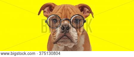 unhappy english bulldog puppy wearing glasses on yellow background