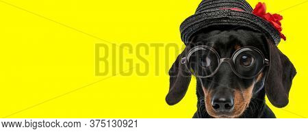 adorable teckel dachshund dog wearing glasses and hat, looking to side on yellow background