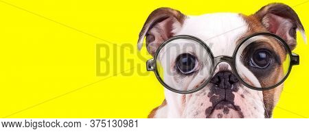 adorable english bulldog puppy with big eyes wearing glasses on yellow background