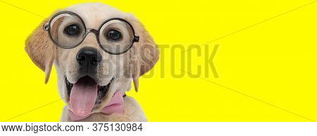 cute labrador retriever dog  with big eyes wearing glasses and sticking out tongue on yellow background