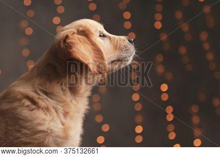 side view of adorable golden retriever puppy admiring the view on background lights