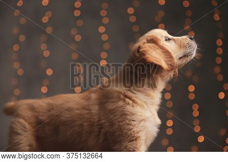 side view of cute golden retriever puupy looking up and admiring the view on background lights