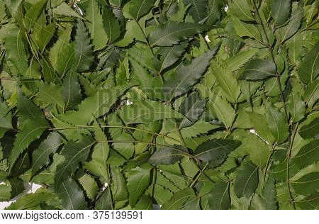 Azadirachta Indica Or Neem Leaves Background In Horizontal Orientation