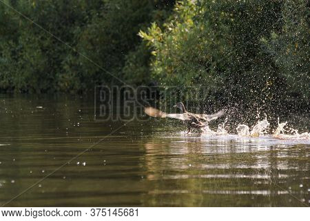 A Duck Takes Off From The Water. Birds In The Wild.