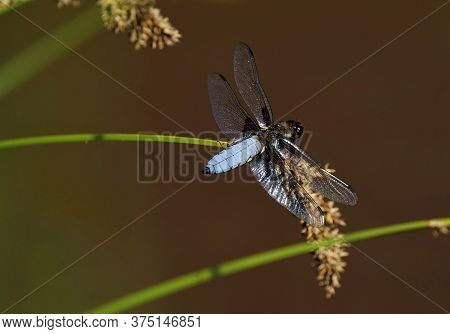Broad-bodied Chaser Under A Blue Sky In Summer