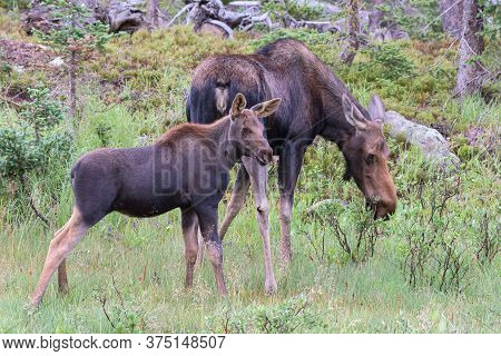 Wild Moose Living In The Forests Of The Colorado Rocky Mountains. Moose Cow And Calf