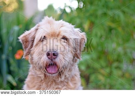 Portrait Of A Beautiful Shaggy Dog On A Blurry Green Background.