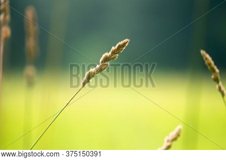 7/7/2020 New York, Ny A Particular Tanll Grass Straw Stands Amongst The Field That Catches People's