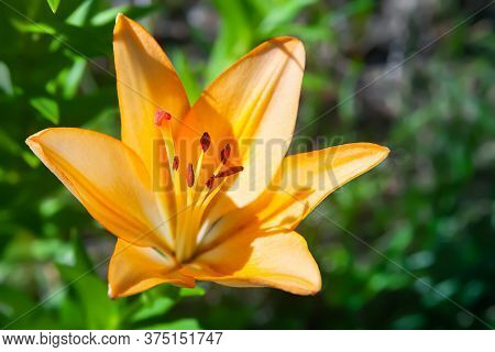 Orange Lily. Garden Daylily Flower. Natural Background For Design. Selective Soft Focus.