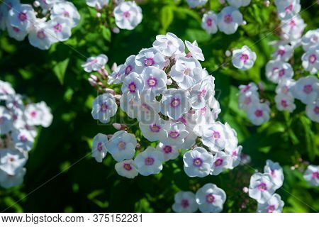 White Phlox. Large Inflorescences Of Phlox Paniculata. Decorative Floral Background. Natural Basis F