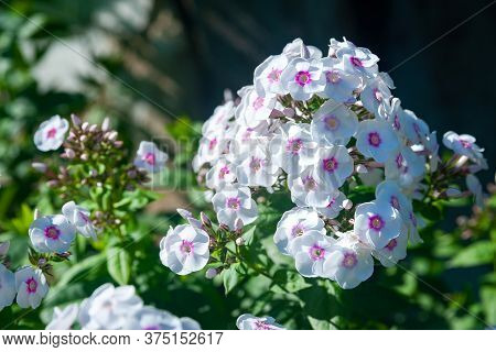 White Large Phloxes. Inflorescences Of White Phlox Paniculata. Decorative Floral Background. Natural