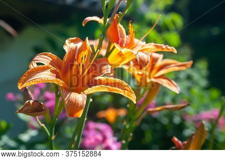 Orange Lily In The Garden. Flowers Of Garden Daylily On A Flowerbed. Natural Background For Design.