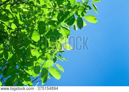 Green Foliage Of A Tree Against A Blue Sky. Abstract Background With Space For Text. Template For Co