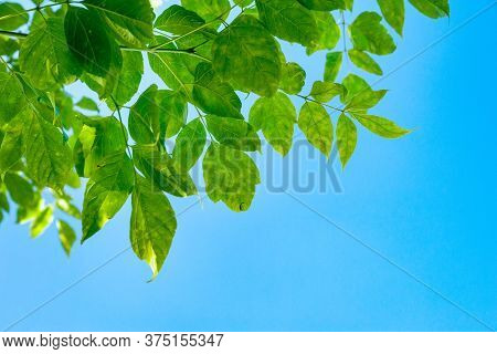 Green Leaves On A Branch Against The Sky. Abstract Natural Background With Space For Text. Template