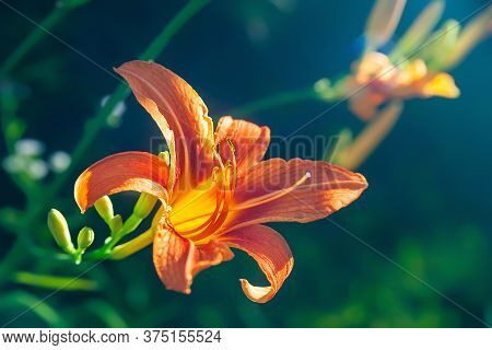 Orange Lily Blooms In The Garden. Close-up Of Garden Daylily Flowers On A Flower Bed. Natural Backgr