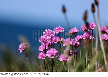 Pink Sea Thrift Growing On A Cliff Top Overlooking The Sea