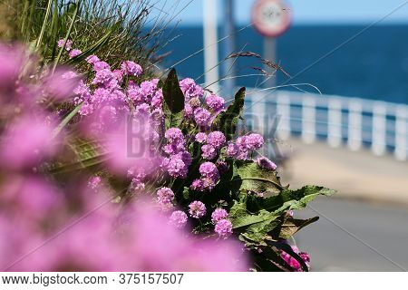 Pink Sea Thrift Growing Beside A Road And A Speed Limit Sign
