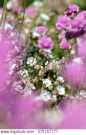 A bed of sea campion flowers framed by pink sea thrift