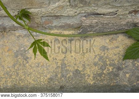 The Abstract Image Of Green Creeper Plant On A Grungy Yellow And Grey Wall