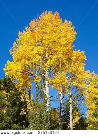The Yellows And Golds Of Autumn Aspen Leaves Are Accentuated By A Brilliant Blue Sky.