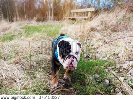Black And White English Bulldog Dog With Tongue Out For A Walk Looking Up Sitting In The Grass