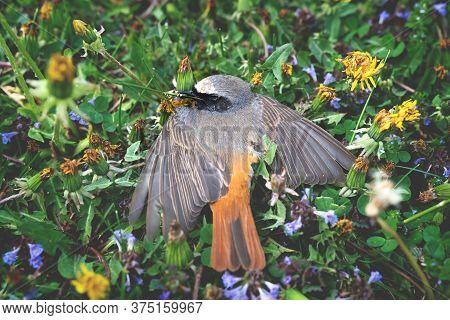 Dead Robin Bird In A Colorful Flower Meadow, Austria