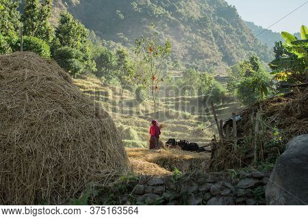 Strong Woman In Rural Nepal Workig In The Rice Fields At Annapruna Circuit