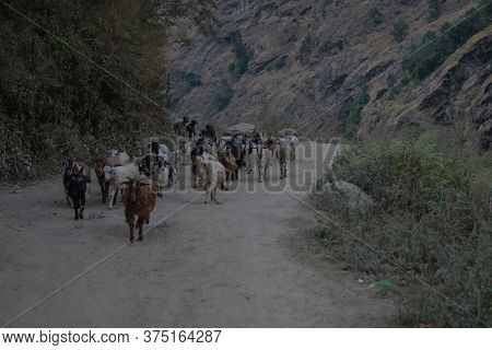 Beautiful Goat Herd Walking On A Dirt Road In The Nepalese Mountains, Annapurna Circuit