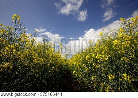 Yellow Oilseed And Rapeseed Crop In Summertime In England