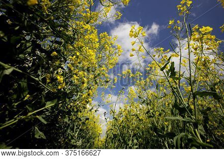 Oilseed And Rapeseed Plants Growing In A Field