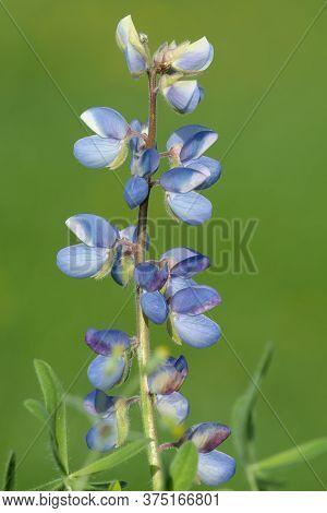 Wild Lupine (lupinus Perennis)