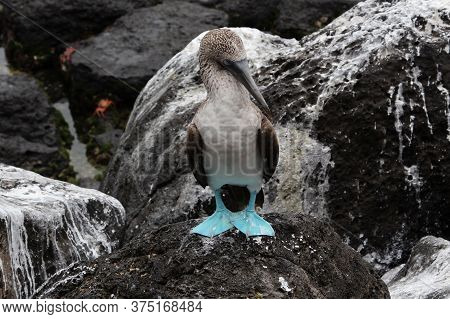 Blue-footed Booby (seabird With Blue Paws) Siting On A Stone