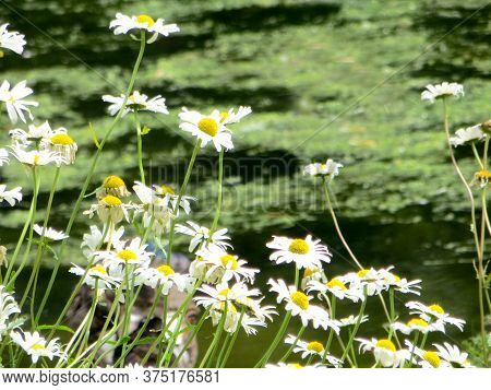 White Bright Daisys On A Blurr Background Of An Overgrown Pond