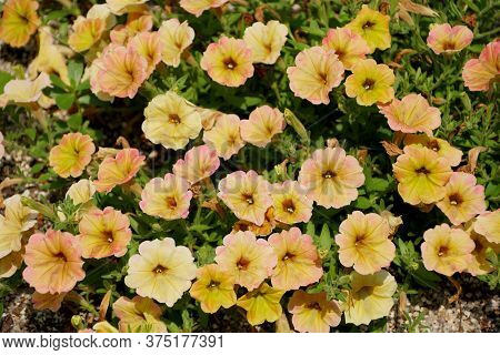 Beautiful Yellow Ad White Color Of Hybrid Petunia 'supertunia Honey'