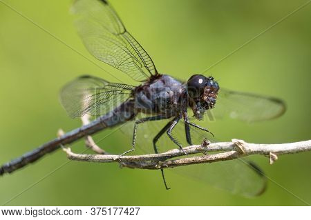 A Slaty Skimmer Munches On An Insect Using Its Powerful Jaws.