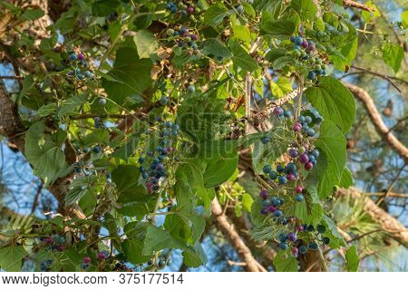 A Porcelain Berry Vine With A Variety Of Ripeness Growing In The Summer In The Piedmont Of North Car