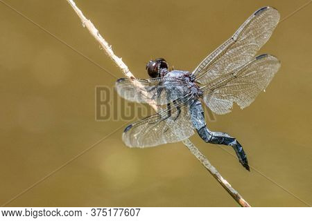 A Slaty Skimmer Dragonfly With A Kinked Tail Perches On A Stick At Crowder County Park In Apex, Nort