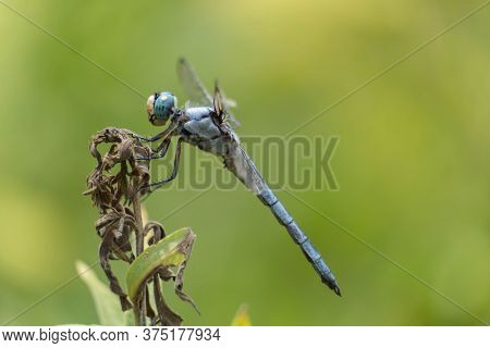 A Profile View Of A Male Great Blue Skimmer