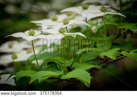 Side View Of The Blooms Of A Kousa Dogwood. Crowder Park Of Wake County, North Carolina.