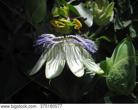Blue Passion Flowers And Blossoming Flowers With Green Leaves. Background.  Passiflora Caerulea, The